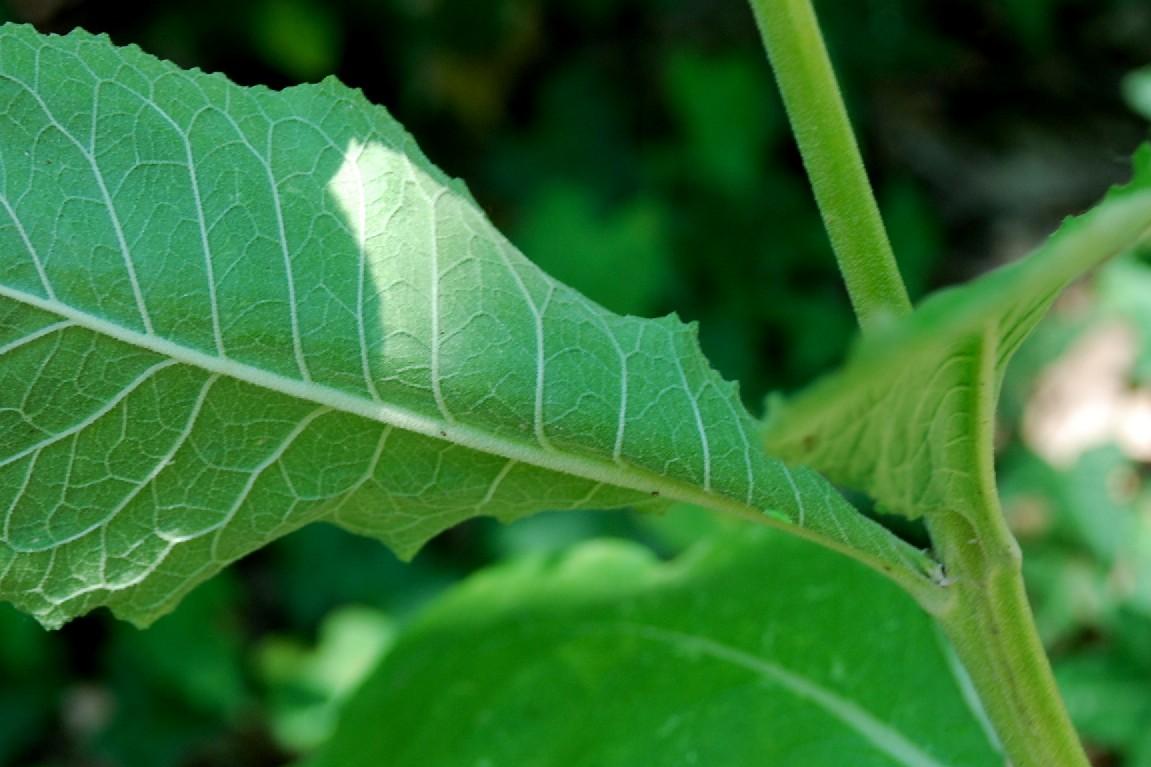 Verbascum lychnitis 8