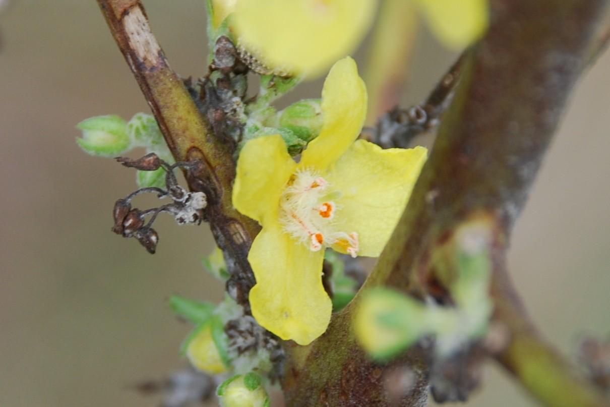 Verbascum pulverulentum 11