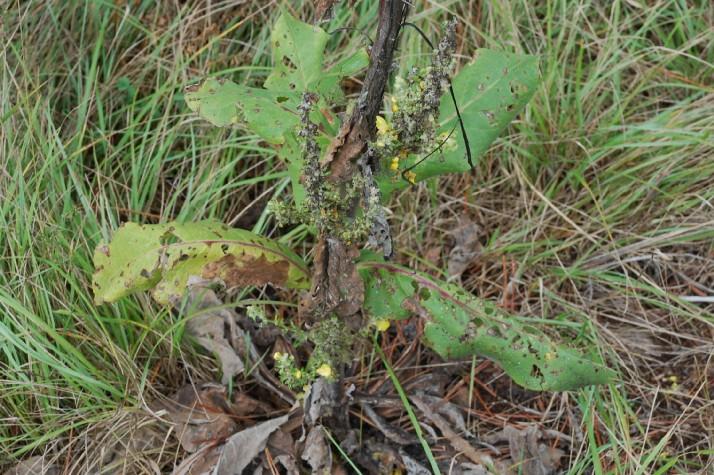 Verbascum pulverulentum 13