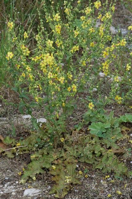 Verbascum sinuatum 16