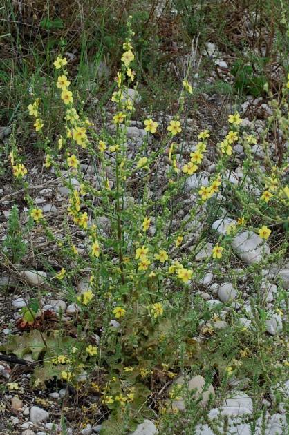 Verbascum sinuatum 17