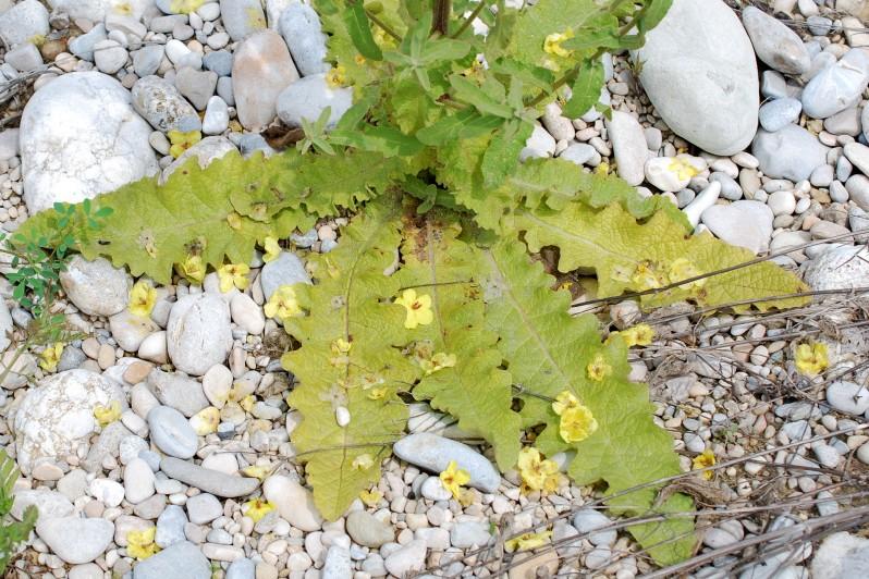 Verbascum sinuatum 33