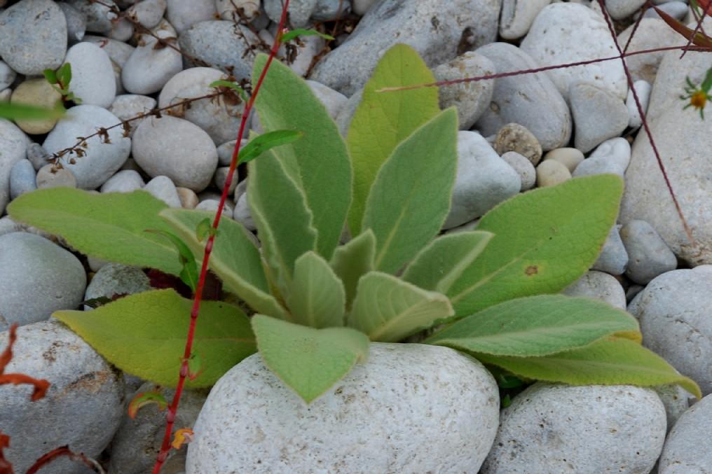 Verbascum thapsus subsp. thapsus 11