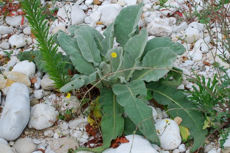 Verbascum thapsus subsp. thapsus 13