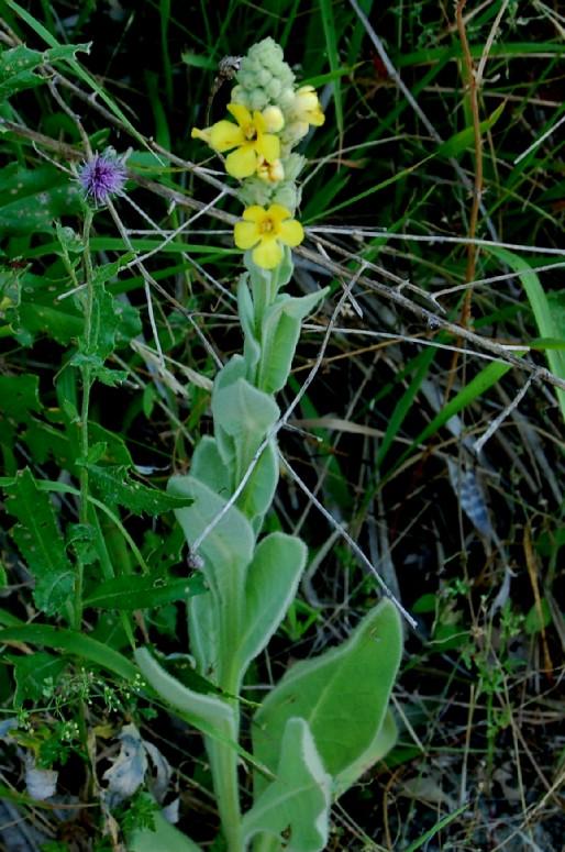 Verbascum thapsus subsp. thapsus 2