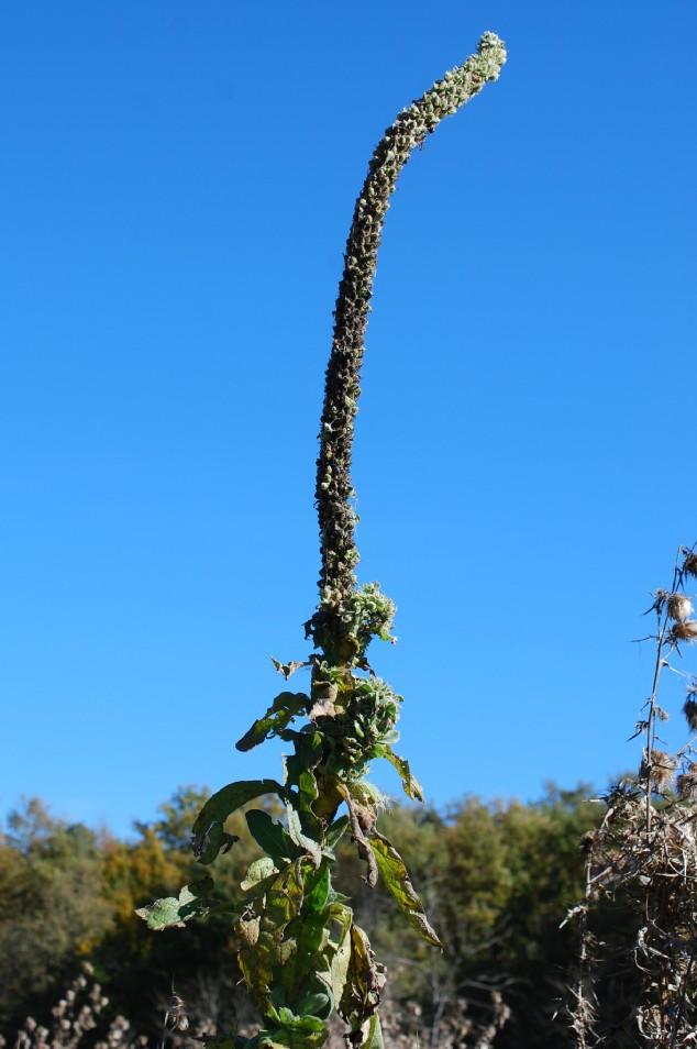 Verbascum thapsus subsp. thapsus 25