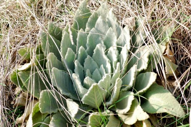 Verbascum thapsus subsp. thapsus 7