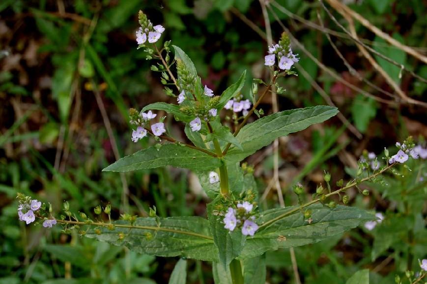 Veronica anagallis aquatica