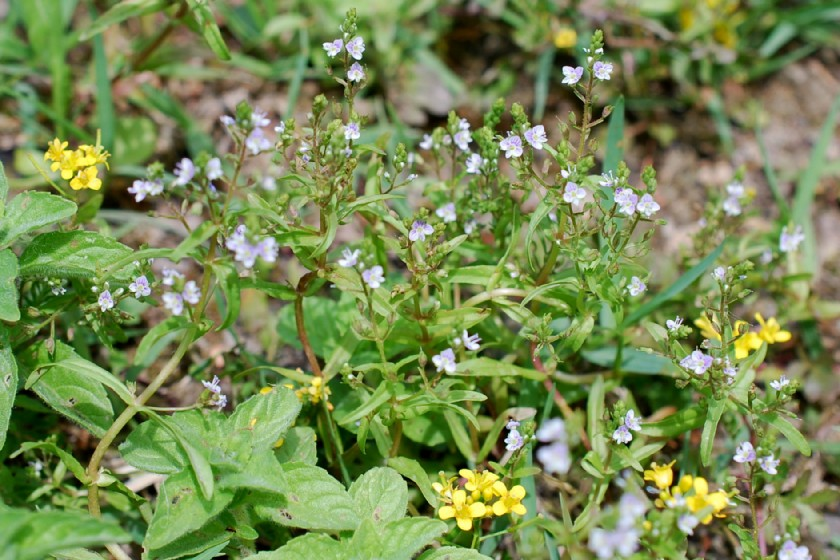 Veronica anagalloides 14