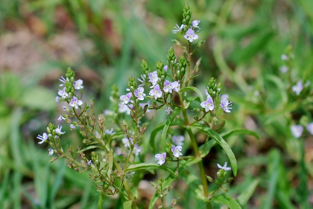 Veronica anagalloides 5