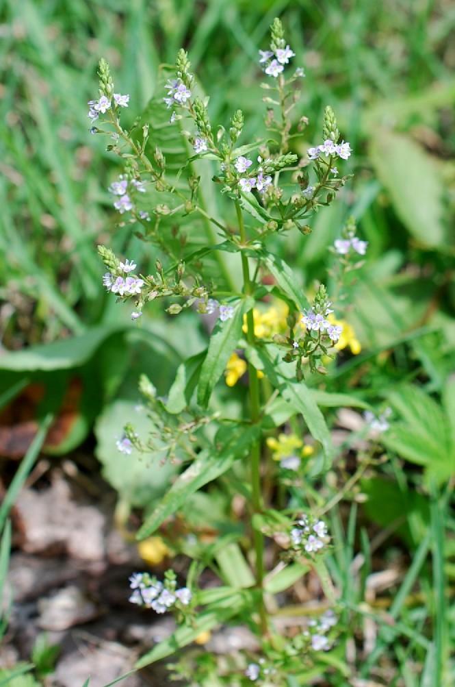 Veronica anagalloides 8