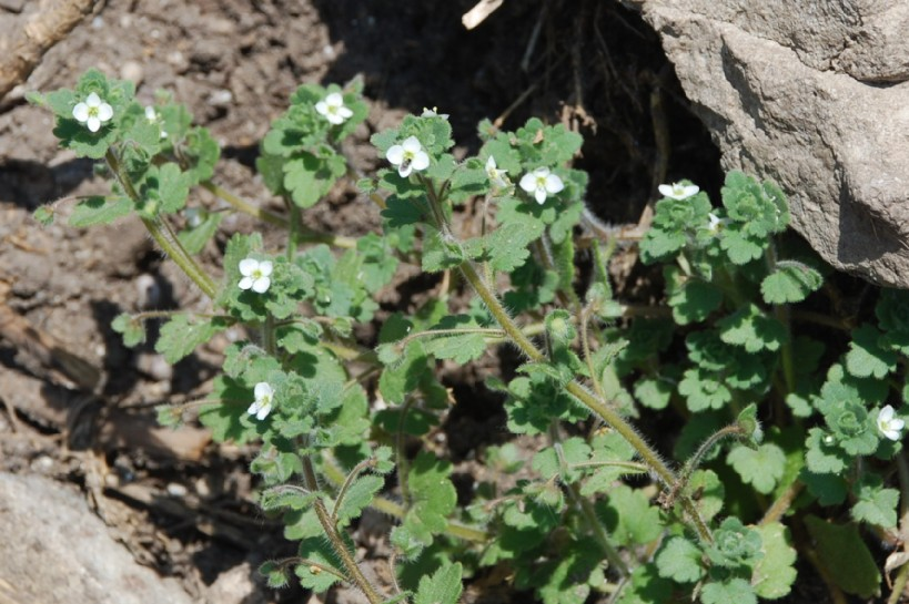 Veronica cymbalaria 9