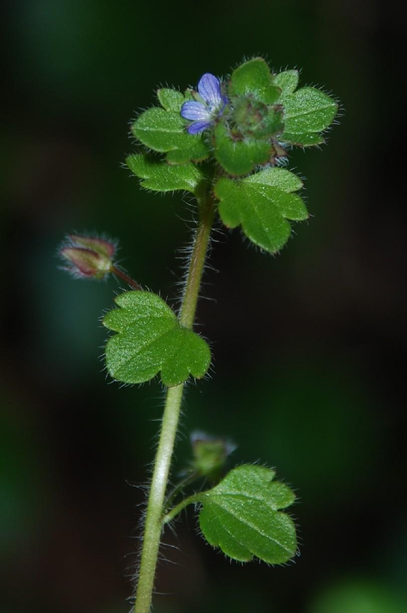Veronica hederifolia subsp. hederifolia 10