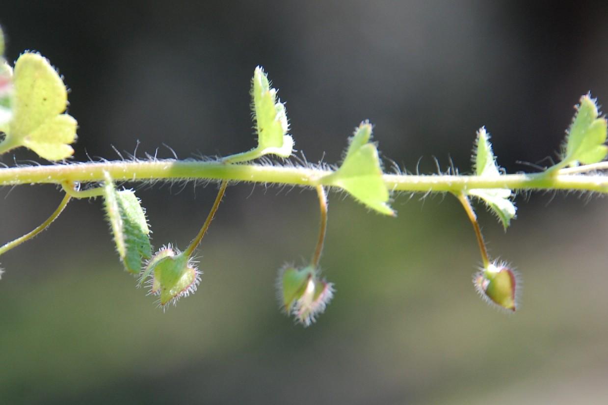 Veronica hederifolia subsp. hederifolia 12