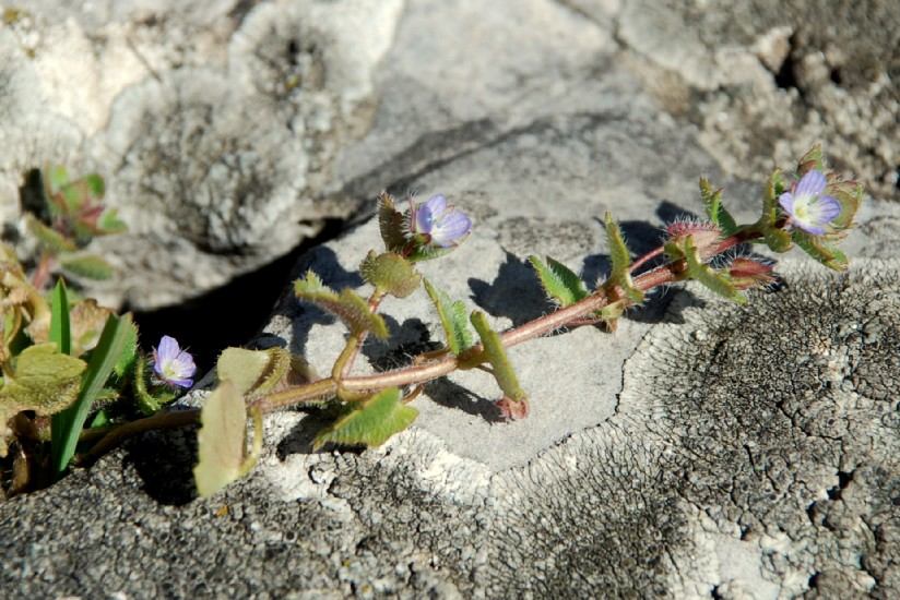 Veronica hederifolia subsp. hederifolia