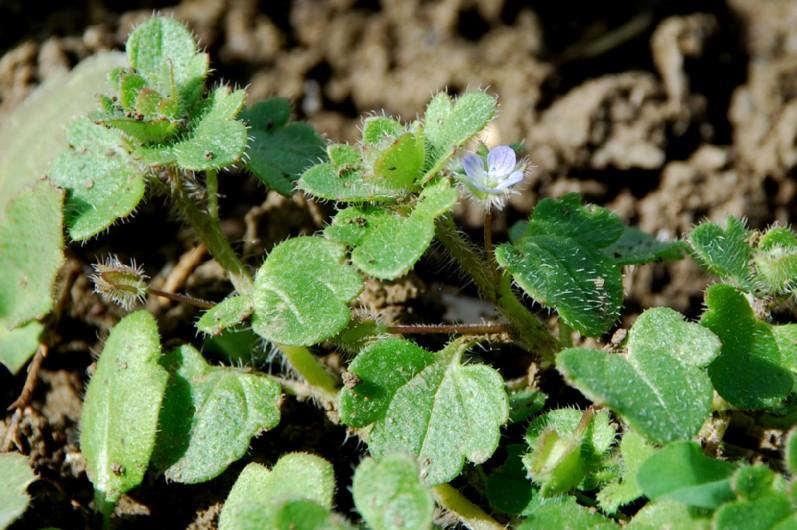 Veronica hederifolia subsp. hederifolia 6