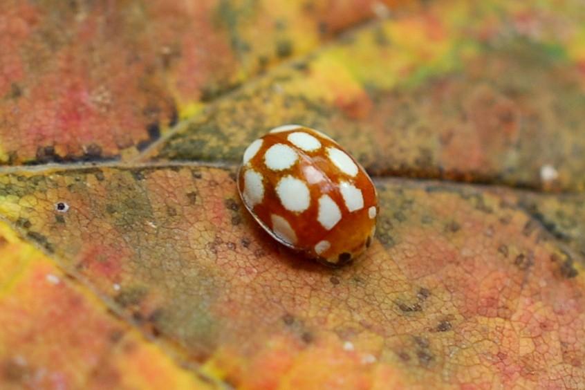 Vibidia duodecimguttata - Coccinellidae