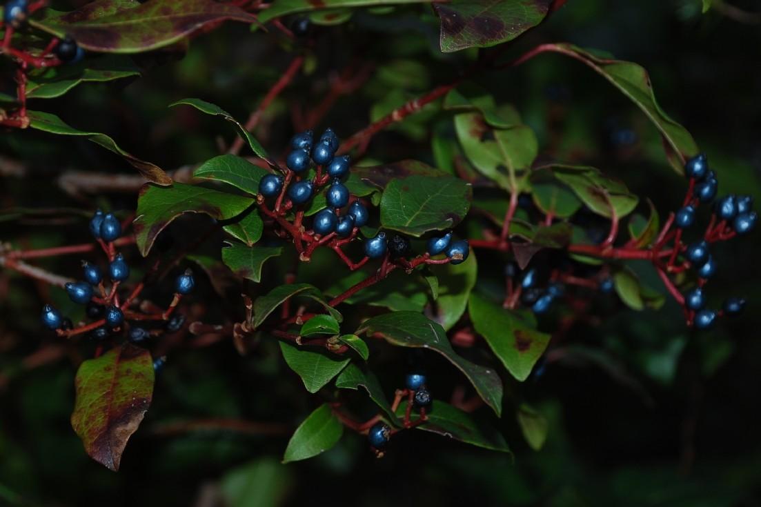 Viburnum tinus 4