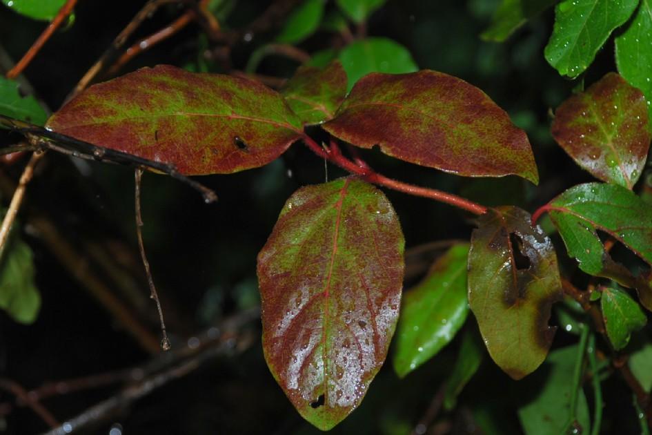 Viburnum tinus 8