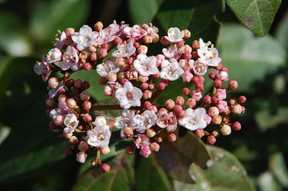 Viburnum tinus subsp. tinus 11