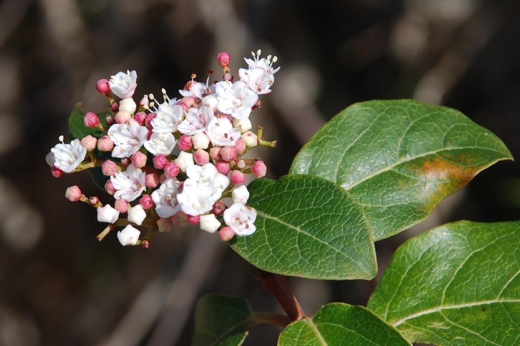 Viburnum tinus subsp. tinus 12
