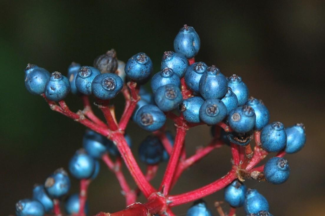 Viburnum tinus subsp. tinus 17