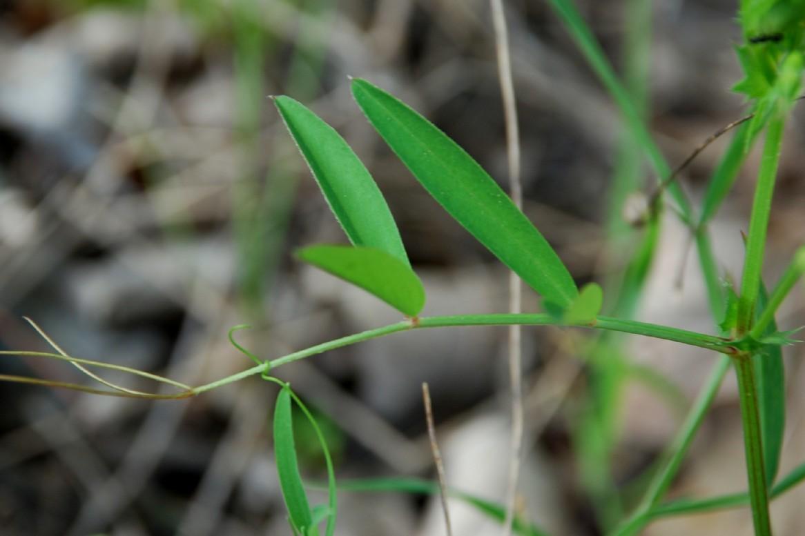 Vicia bithynica 10