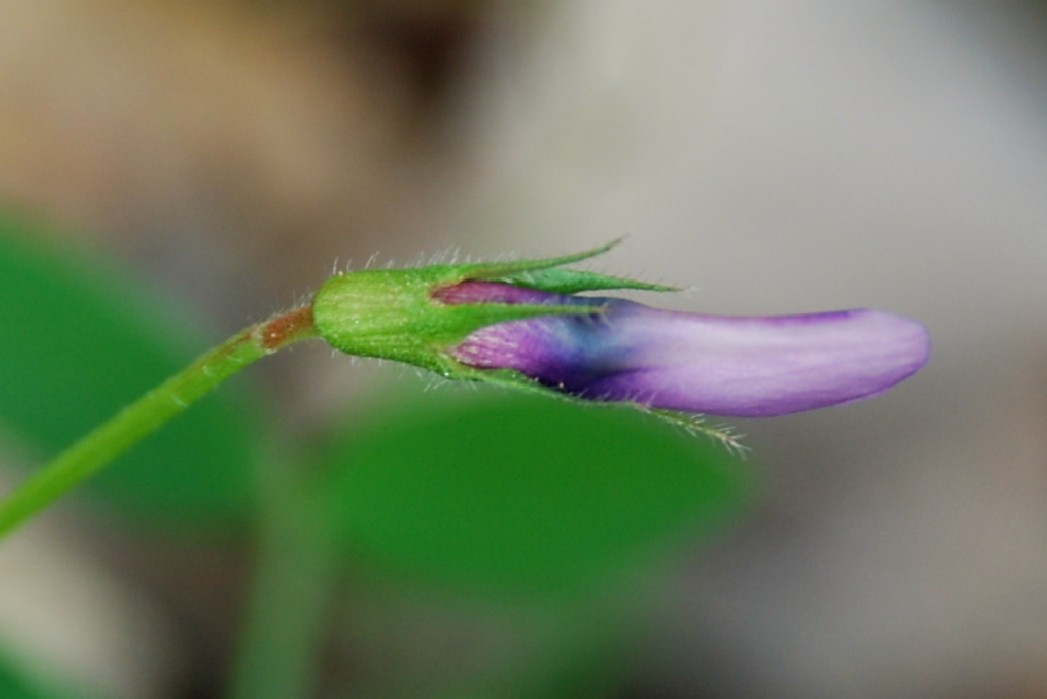 Vicia bithynica 12
