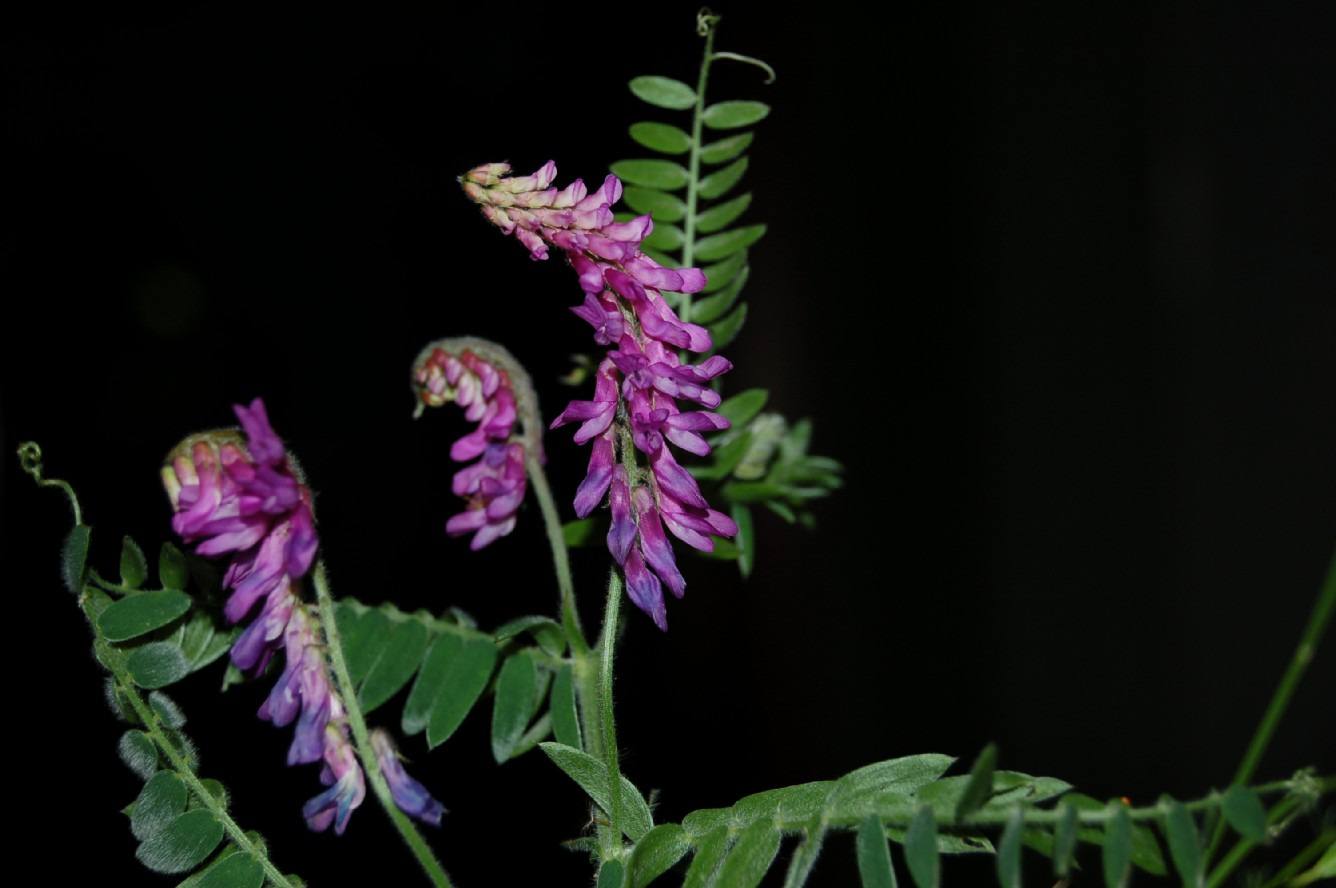 Vicia cracca subsp. incana
