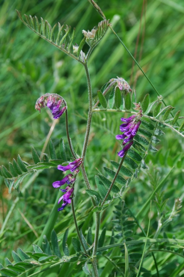 Vicia cracca subsp. incana 2