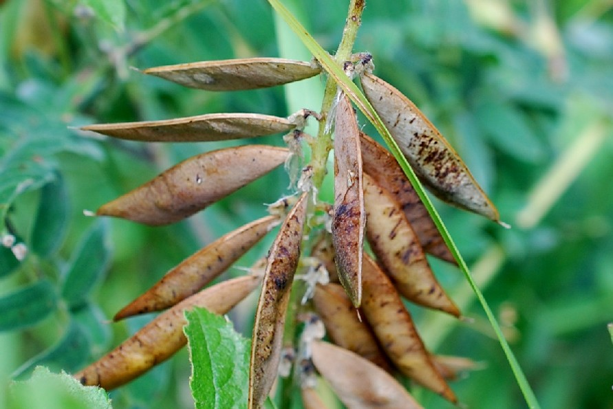 Vicia cracca subsp. incana 4