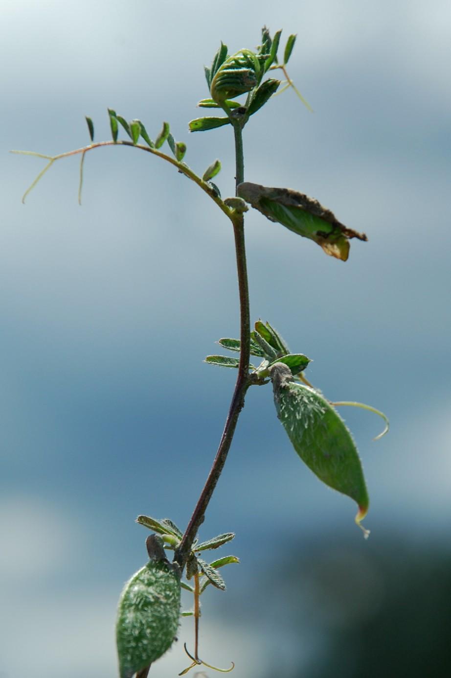Vicia hybrida 11