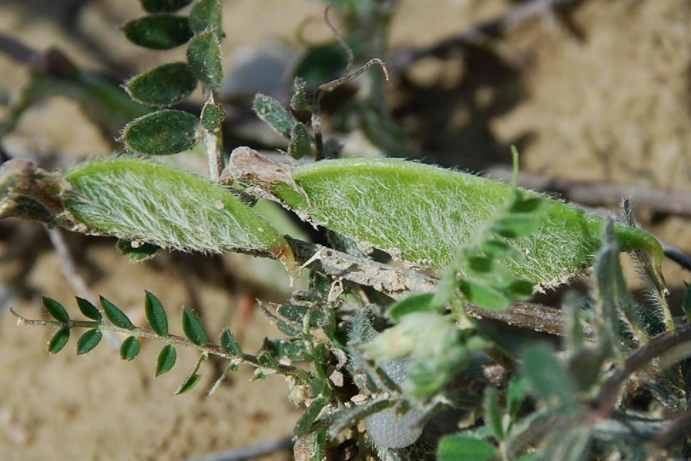 Vicia hybrida 12