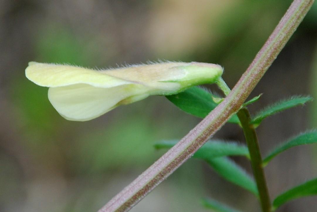 Vicia hybrida 14