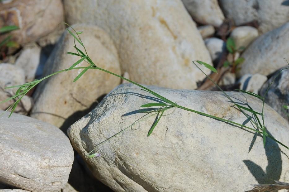 Vicia parviflora 11