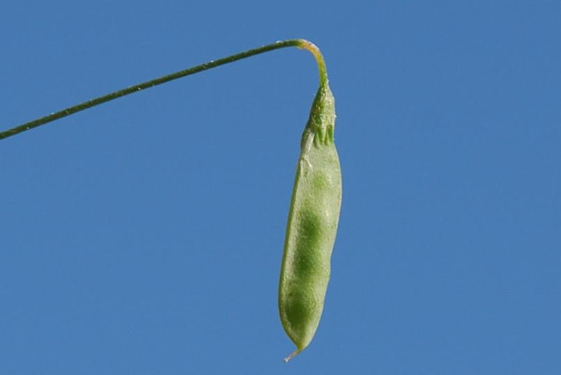 Vicia parviflora 12