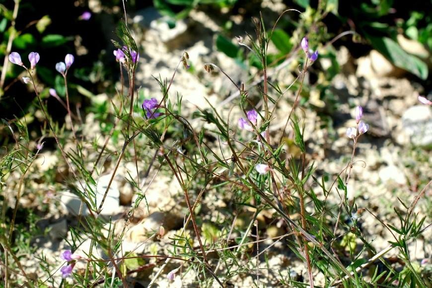 Vicia parviflora 19