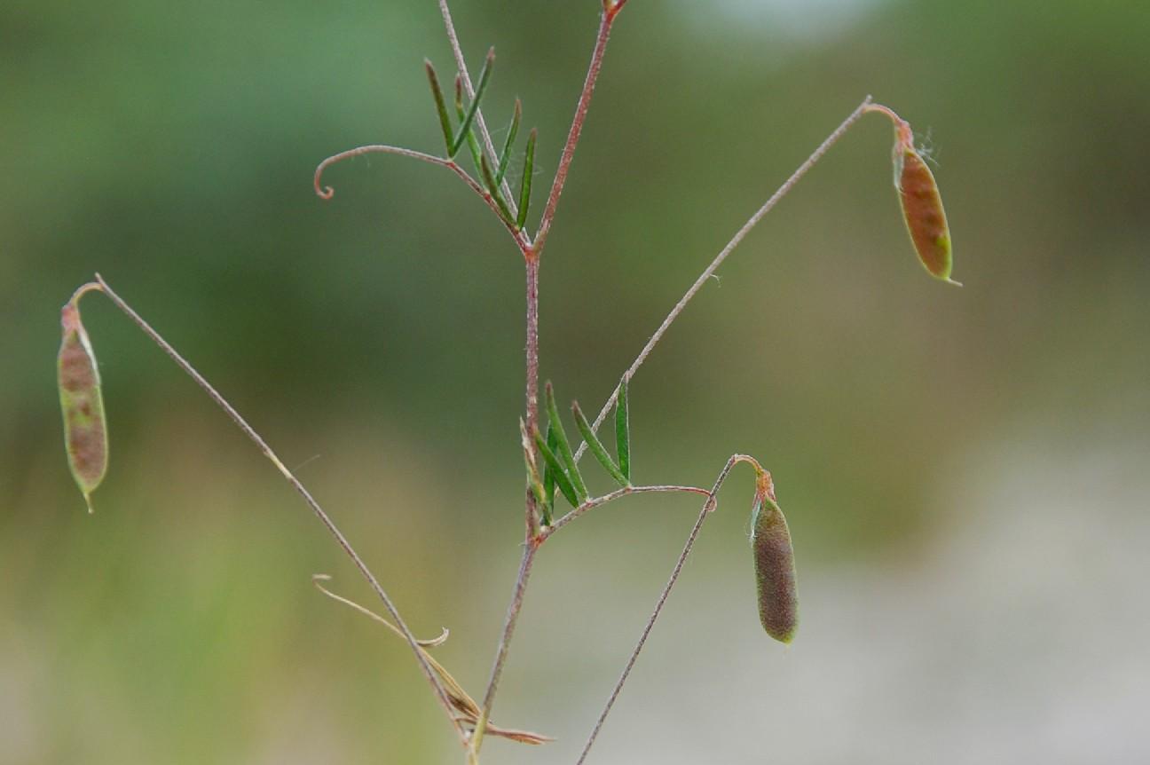Vicia parviflora 6