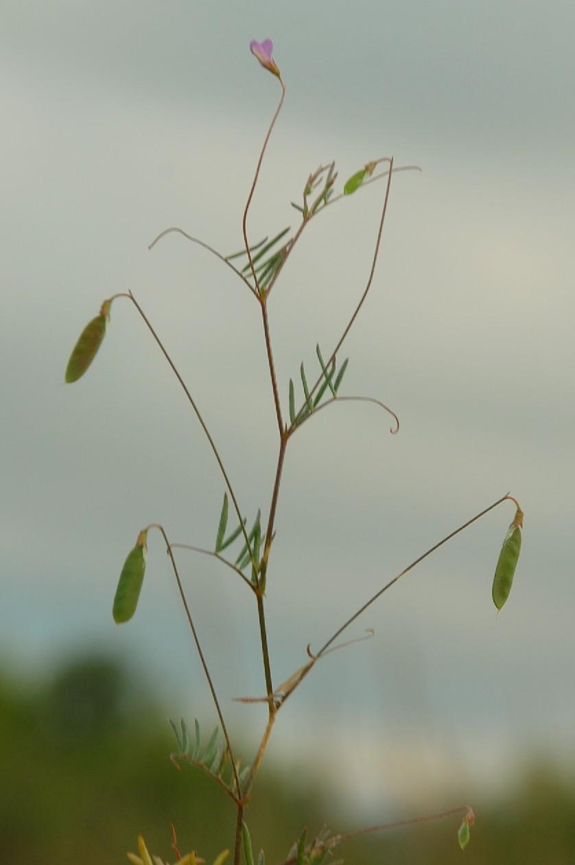 Vicia parviflora 7