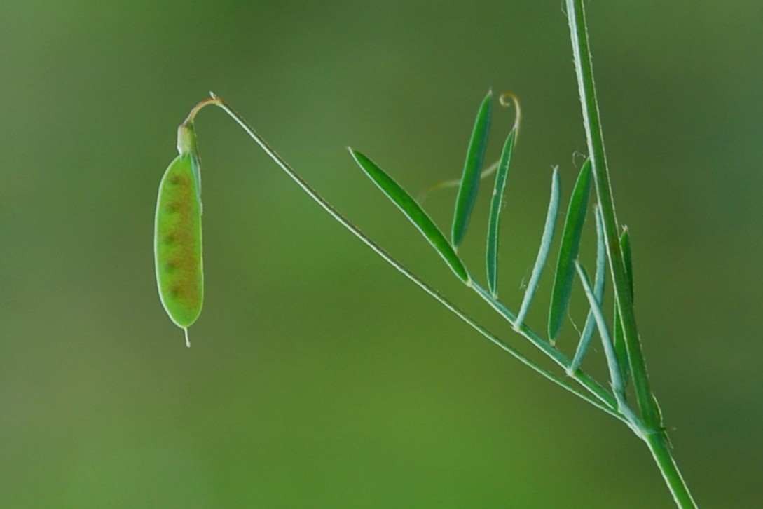 Vicia parviflora 8