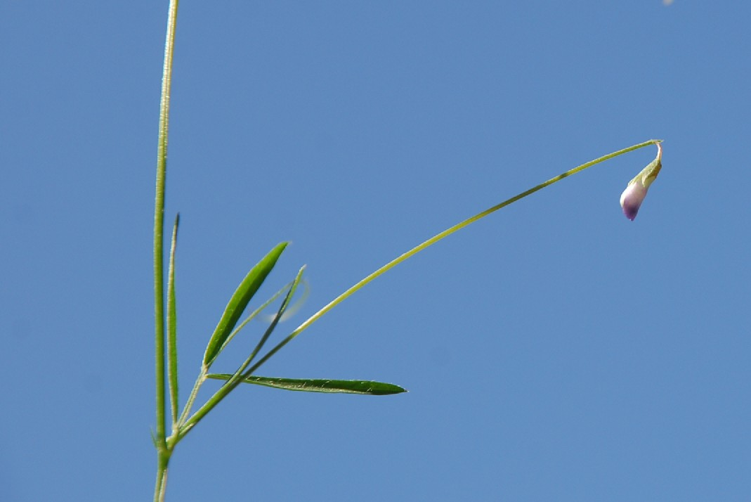 Vicia parviflora 9