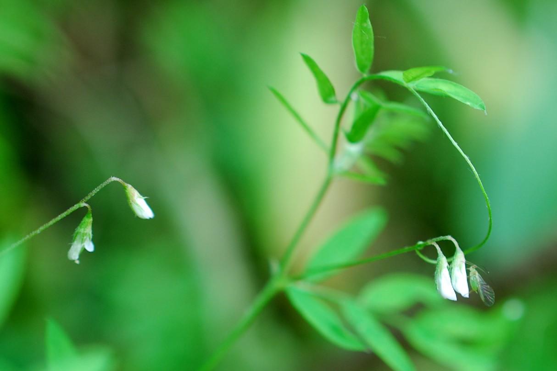 Vicia pubescens 2
