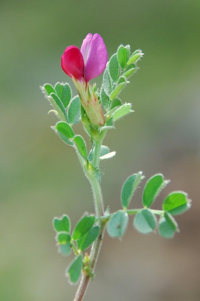 Vicia sativa subsp. nigra 10