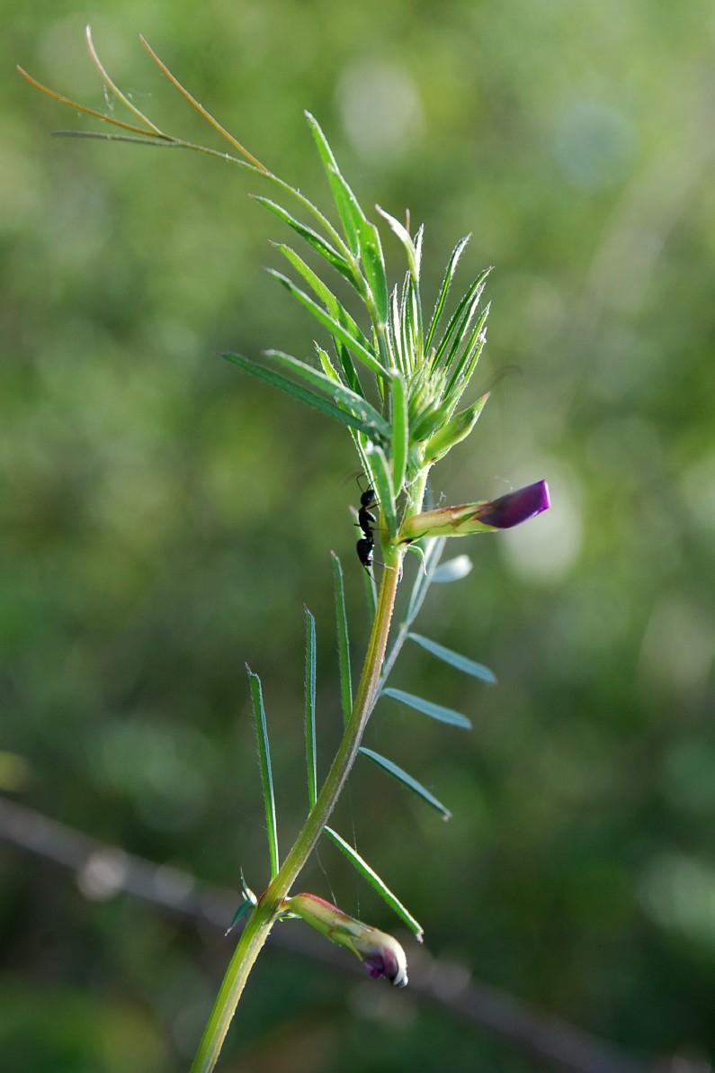Vicia sativa subsp. nigra 12