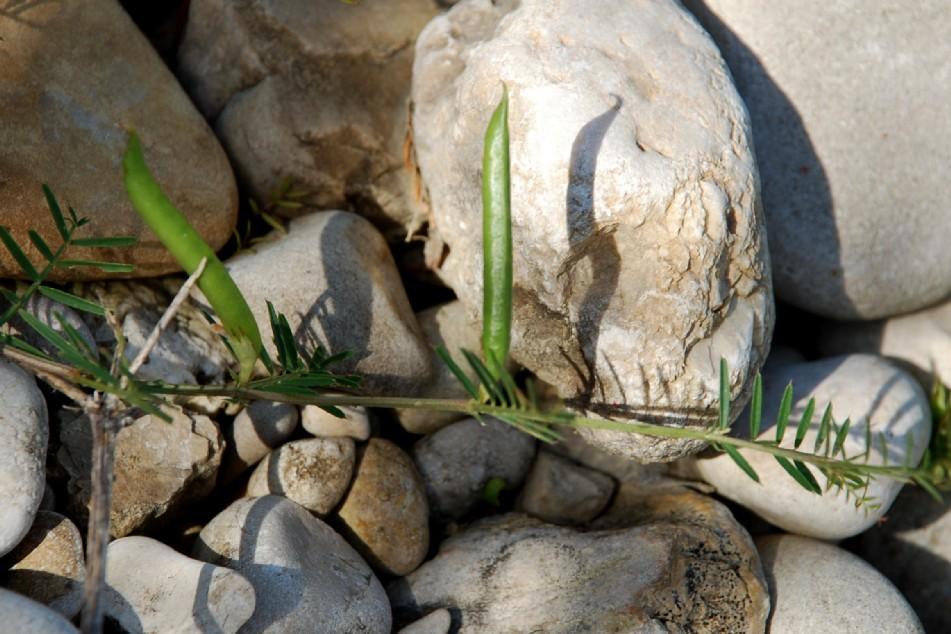 Vicia sativa subsp. nigra 14