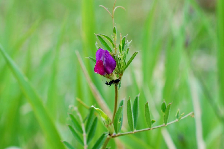 Vicia sativa subsp. nigra 32
