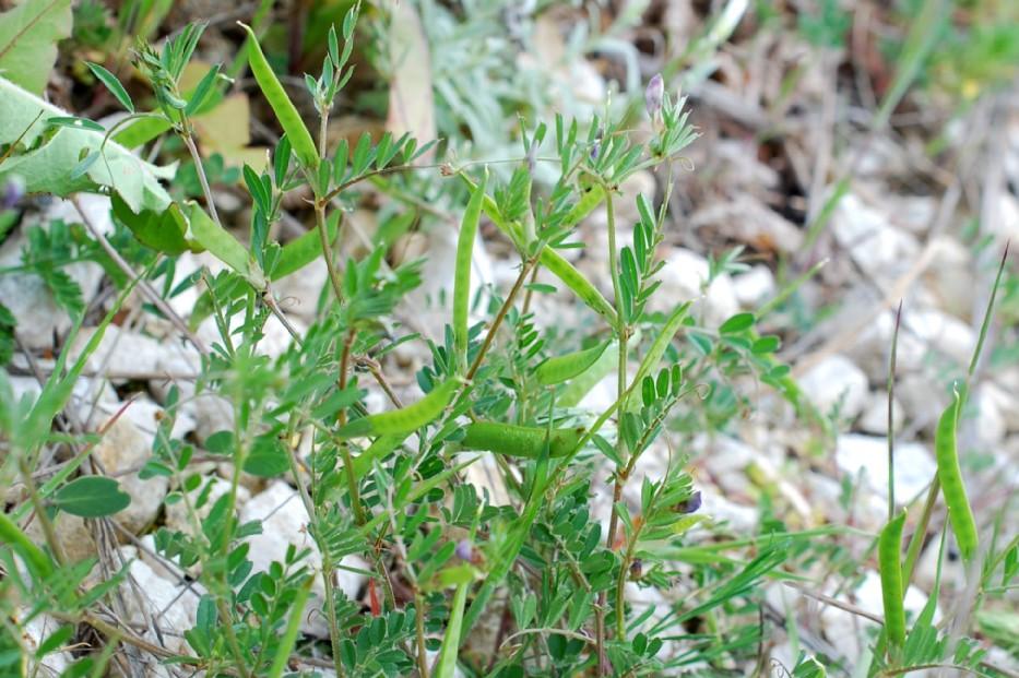 Vicia sativa subsp. nigra 35