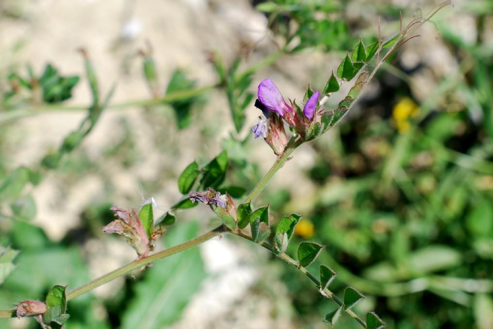 Vicia sativa subsp. nigra 39
