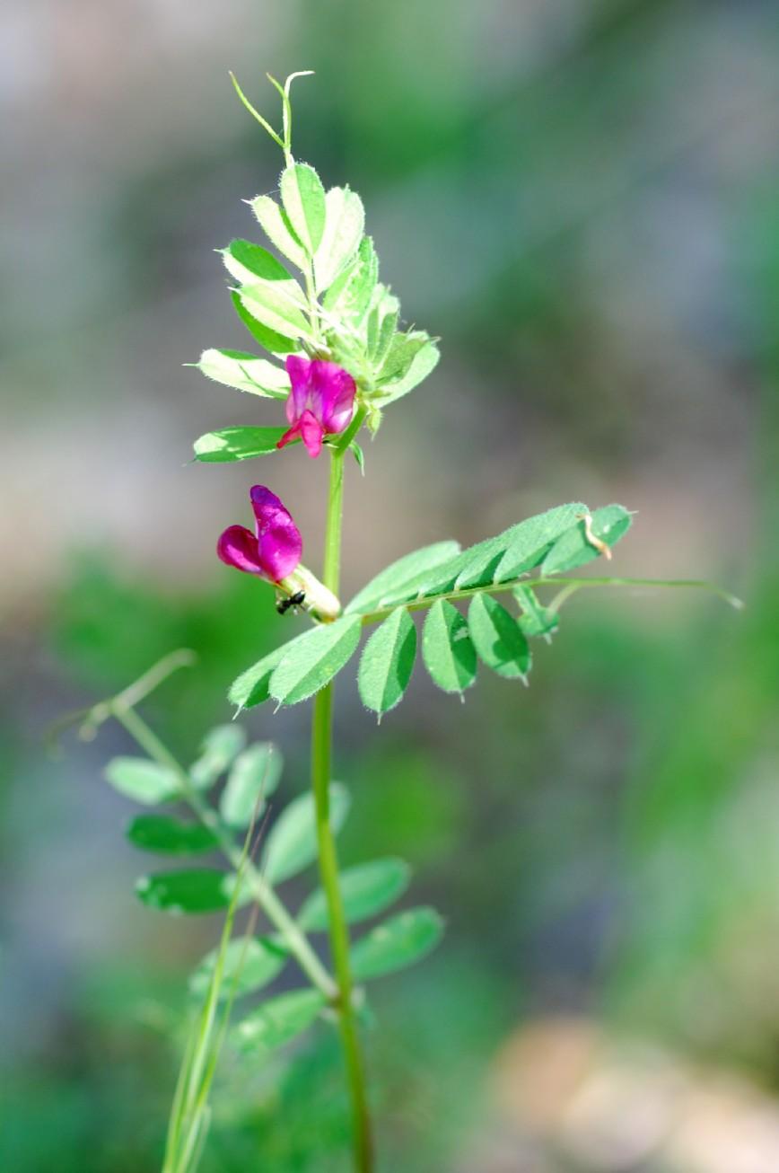 Vicia sativa subsp. nigra 4