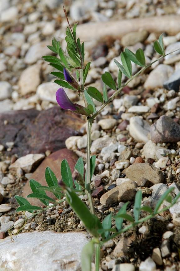 Vicia sativa subsp. sativa 13